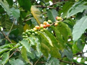 La pianta della Coffea Arabica