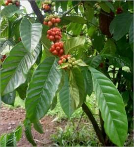 Coffea Arabica nana