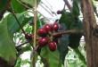 Pianta di coffea arabica