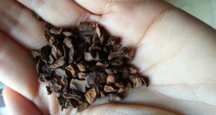 Chicchi di caffè di cicoria