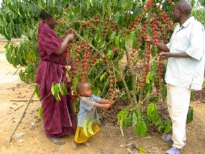 caffe robusta in Africa