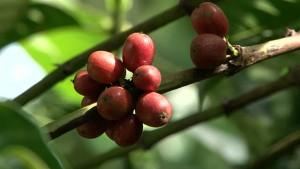 il caffè biologico